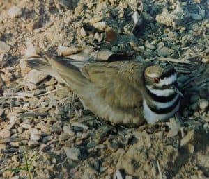 Killdeer bird laying on eggs