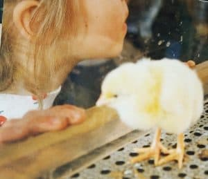 Baby chicks at the state fair